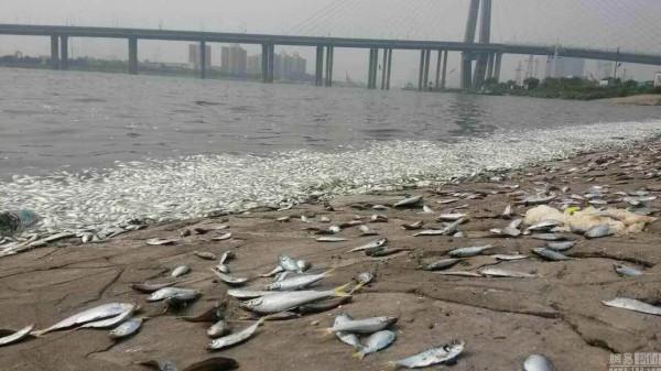 附近居民表示,以前從未出現如此大規模魚群暴斃情況,擔憂是否與天津爆炸後的氰化物污染有關。(圖擷自網路)