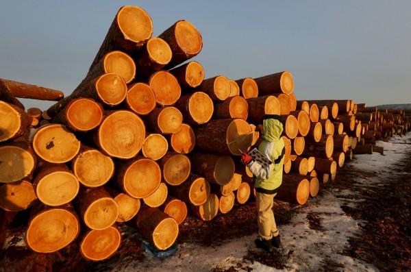 俄羅斯官員表示,若中國不出錢協助俄國恢復森林資源,就要禁止木材出口到中國,讓中共官員嚇傻。西伯利亞伐木場示意圖。(路透)