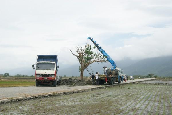 吊車將金城武樹扶正後,相關人員隨即展開後續穩固樹木及根基的工作。(記者王秀亭攝)
