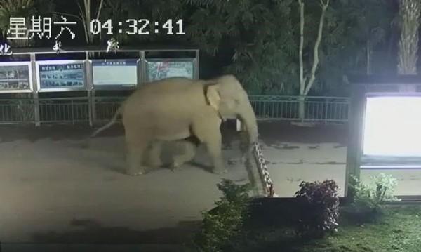 中國雲南一隻野象近日夜遊,竟「偷渡」到鄰近的寮國,從監視器畫面可見,牠在凌晨輕鬆抬腳翻過邊境檢查站的柵欄,大搖大擺地「出境」。(圖擷取自「人民網」)