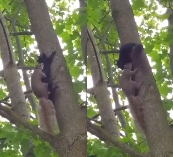 外國網友捕捉到2隻松鼠交配影片,但他們均輪流趴在對方身上。(圖擷取自爆笑公社)