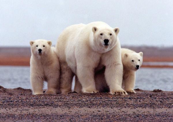 俄羅斯新地島遭到數十隻北極熊入侵,當局已向居民發布緊急狀態。(路透)