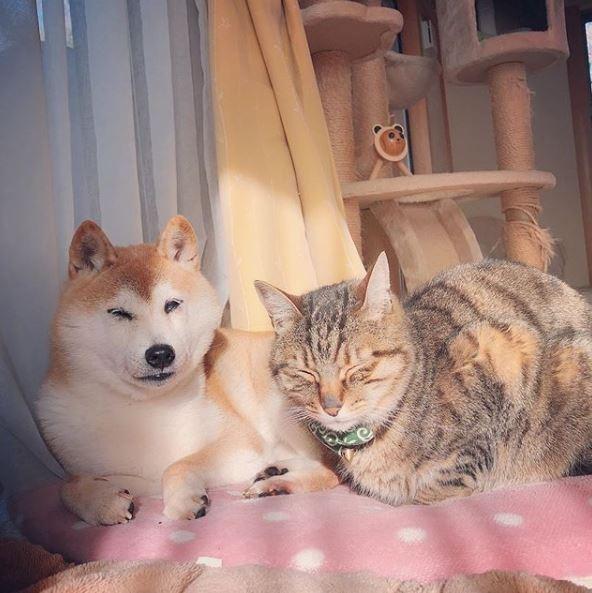Kabosu和家裡的貓咪感情很好。(擷取自「kabosumama」IG)