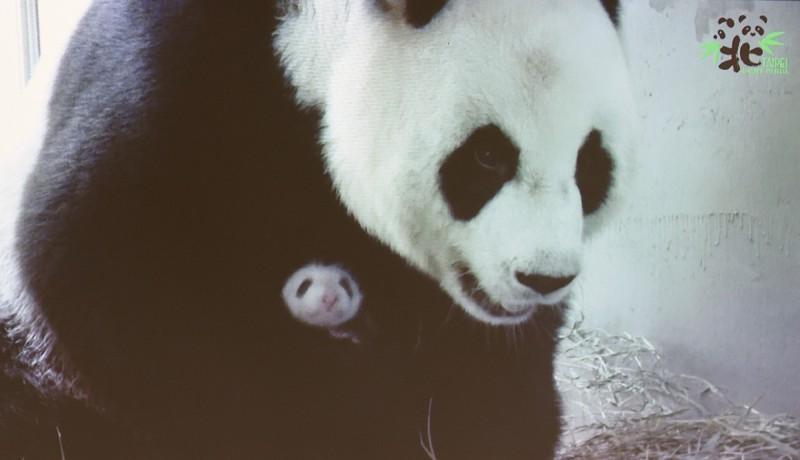 台北市立動物園大貓熊二寶妹(乳名柔柔)今天是25日齡,在保育員協助下,順利重回媽媽「圓圓」懷抱。(記者廖振輝翻攝)