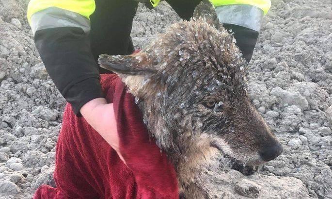 被誤認為狗狗的狼,在剛獲救時身上滿是冰霜。(圖擷自EUPA臉書)