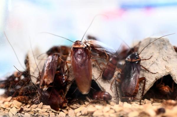 英國的赫姆斯利保育中心(Hemsley Conservation Centre)推出一個方案:今年情人節民眾只要付59元,就能以舊愛的名字為蟑螂命名。(法新社)
