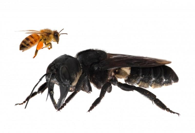 華萊士巨型蜜蜂與一般蜜蜂的大小比較圖。(法新社)