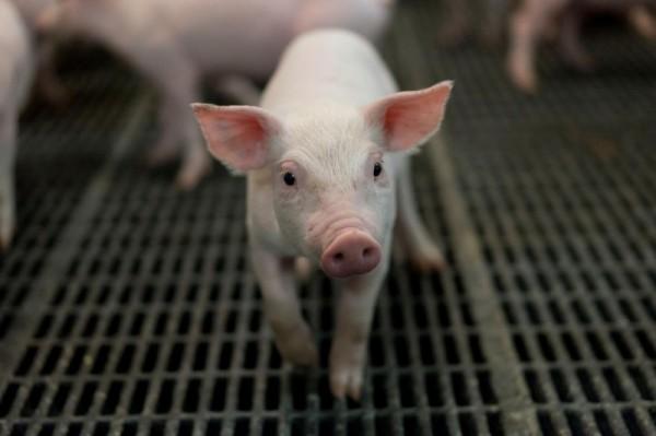 中國非洲豬瘟疫情失控。示意圖。(資料照,路透)