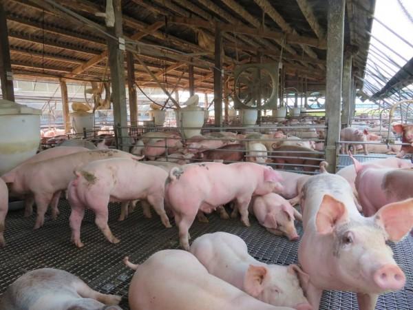 有報告指出,中國出現新型豬流感,可能傳染人類,萬一變異恐引發全球大流行。(資料照,記者蔡宗勳攝)