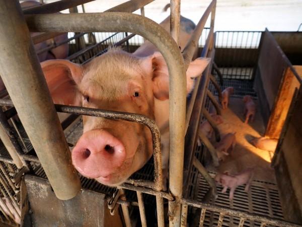 非洲豬瘟疫情嚴重。圖為示意圖。(歐新社)