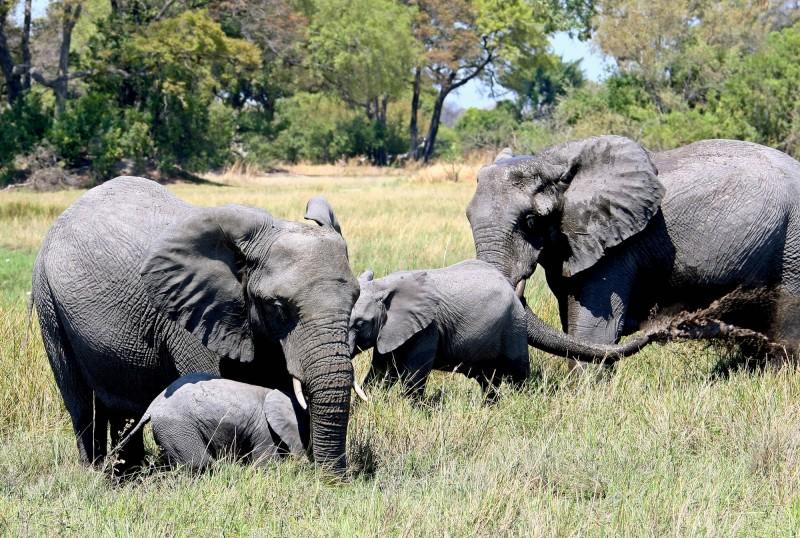 非洲擁有最多大象的國家波札那,週三(22日)決定推翻2014年實施的狩獵大象禁令。(歐新社)