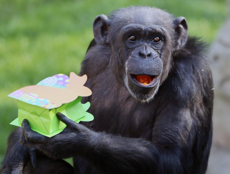 有學者指出,受到人類活動衝擊,黑猩猩許多技能似乎正逐漸退化。圖為德國北部漢諾威動物園的黑猩猩,今年4月收到園方準備的復活節禮物。(歐新社)