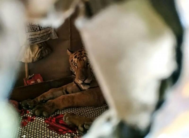 有隻雌虎為了躲避洪水,跑出卡濟蘭加國家公園,還闖入民宅裡睡大覺。(法新社)