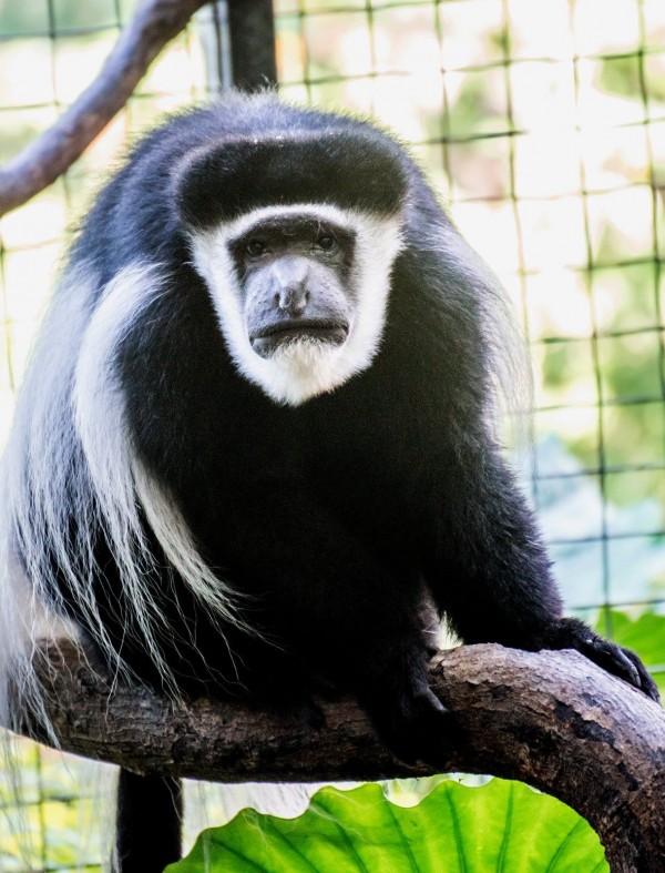 黑白疣猴。(擷自台北市立動物園)