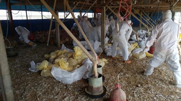 秋冬為禽流感好發季節,雲林縣動植物防疫所提醒養禽場要做落實防疫工作,圖為今年初感染高病原性禽流感雞場撲殺情況。(雲林縣防疫所提供)