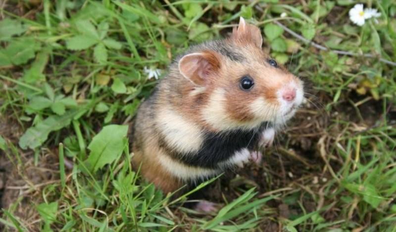 歐洲倉鼠也被《紅色名錄》列為極度瀕危。(擷取自IUCN網站)
