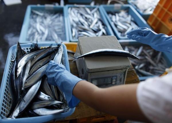 日本為解決國內魚荒問題,決定開放全年捕捉秋刀魚。(歐新社)