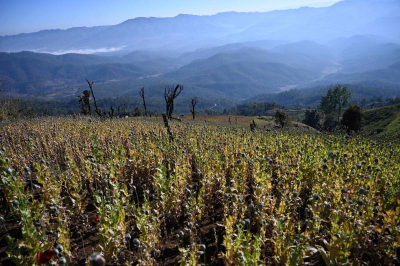 聯合國毒品暨犯罪辦公室在今天發布一份報告指出,金三角地區近年來成為東亞與東南亞的冰毒製造與運送的重心,而台灣的跨國犯罪組織在其中占據不可或缺的地位。圖為位在金三角地區的緬甸撣邦的罌粟花田,(法新社)