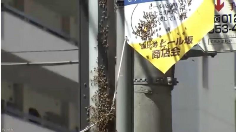 日本東京涉谷街頭有大量蜜蜂出現。(圖擷自NHK MEDIA YouTube)