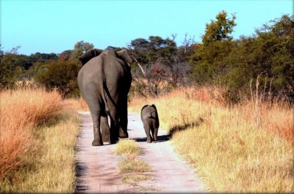 辛巴威照料超過3.6萬頭野生大象,已超過當局負荷,因此賣大象求現金。(圖擷自推特)