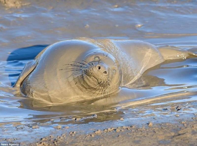 海豹渾身泥巴的模樣看起來像雕像。(圖擷取自推特@mmkkknad)