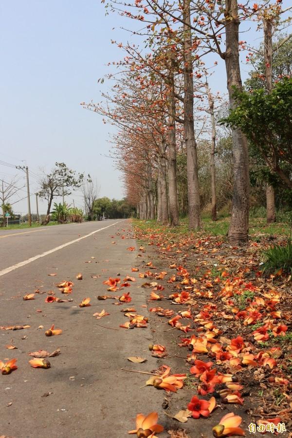 雲145線爭取納進前瞻計畫,虎尾埒內段將打造成雲林最美的景觀大道,並搭配掃花及剪果作業解決木棉花衍生的問題。(記者詹士弘攝)