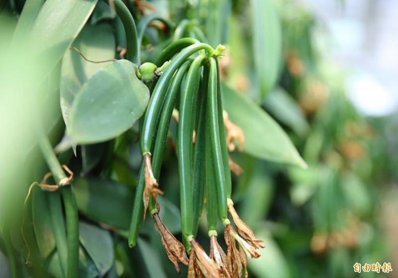 圖為香草豆莢。(資料照)