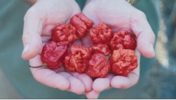 金氏世界紀錄網站稱「卡羅萊納死神」辣椒是地球最辣的辣椒。(圖擷自CNN)