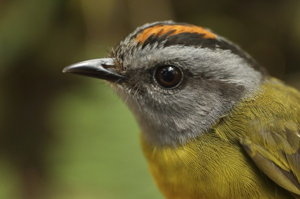 科學家們2017在秘魯的安地斯山脈一處調查該區域的400多種山鳥,並將2017的調查結果和1985年作比較,發現有8個物種滅絕。圖為生長在秘魯山區的褐冠王森鶯(Russet-crowned Warbler)。(美聯社)