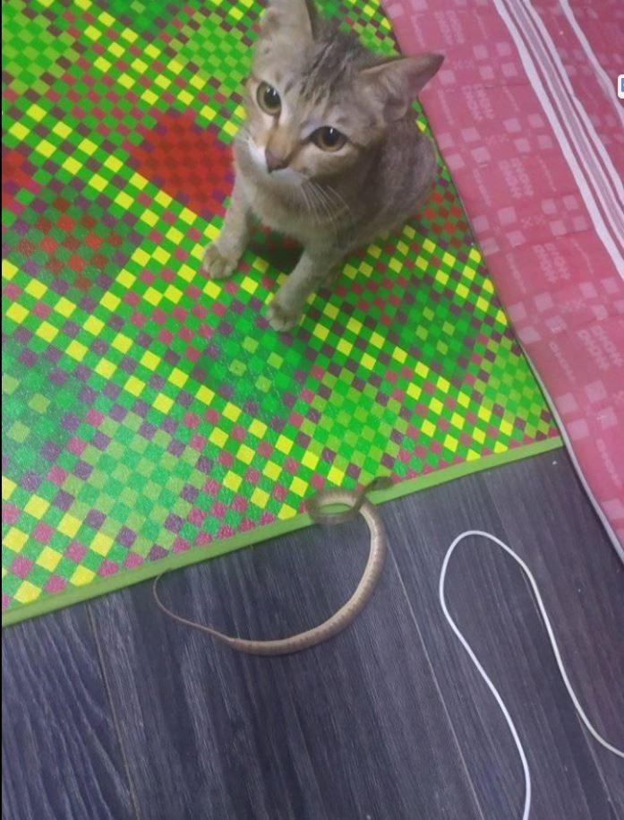 小貓一臉無辜的看著鏡頭,而身旁有1條小蛇屍體。(圖擷自《Kami Pecinta Kucing》 臉書)