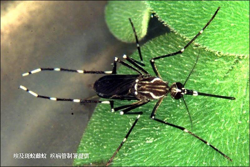 登革熱病媒蚊南北大不同,北部以白線斑蚊為主,南部則是埃及斑蚊(見圖)。(圖:疾管署提供)