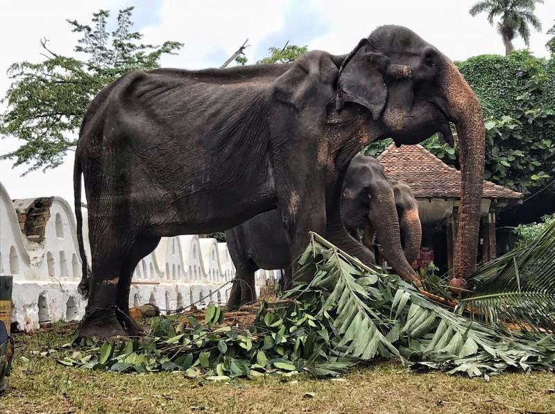 動保團體PO岀70歲患病雌象提奇莉(Tikiri)的照片,發現牠華麗的裝扮之下其實骨瘦如柴,認為強迫大象遊行與佛教信仰背道而馳。(截取自「Saengduean Lek Chailert」臉書)