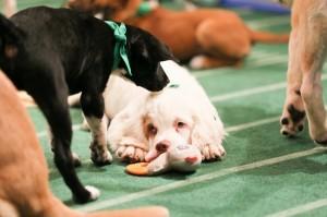 主辦單位將狗狗比賽的照片放上網。(圖片擷取自「Puppy Bowl」臉書)