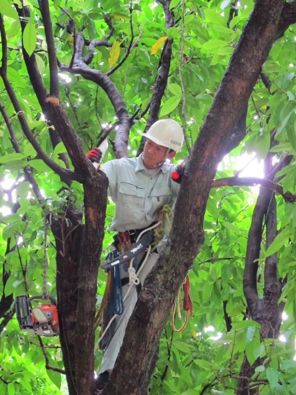 日本樹醫攀樹觀察樹木有無腐朽、斷裂情形。(資料照,圖/大安森林公園之友基金會)