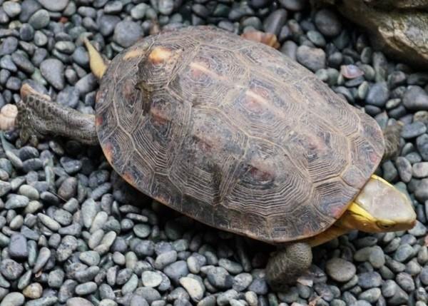 警方在齊柏林住家查獲的食蛇龜。(記者劉慶侯翻攝)
