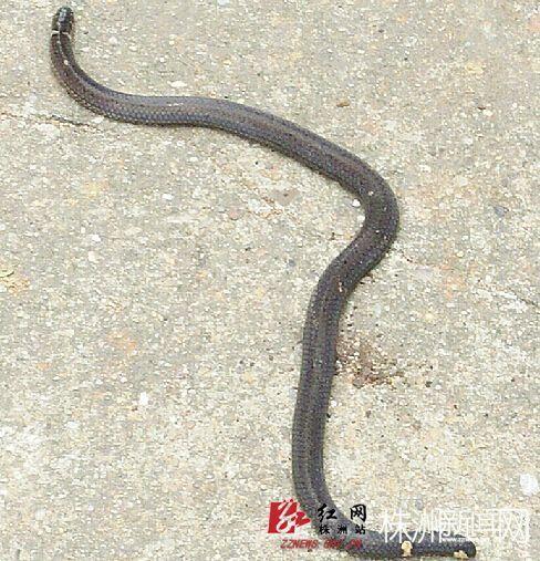 「大蚯蚓」原來是蛇,而且蛇身兩端都有頭,其中一個蛇頭還不時吐信。(圖擷取自《株洲晚報》)
