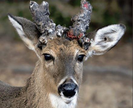 北美喪屍鹿(Zombie deer)疫情升溫,目前已蔓延全美24州和加拿大2省。(圖擷取自推特)