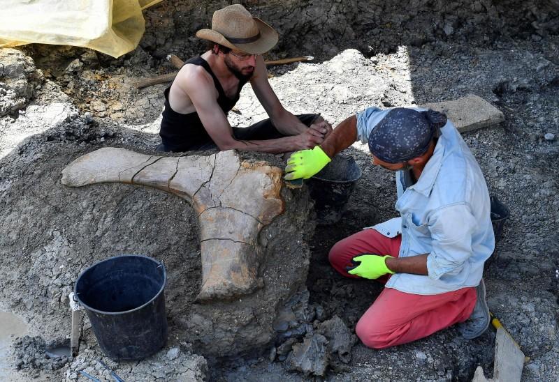 古生物學家現在正努力將發現的化石,拼湊出一個完整的蜥腳類恐龍骨架。(法新社)