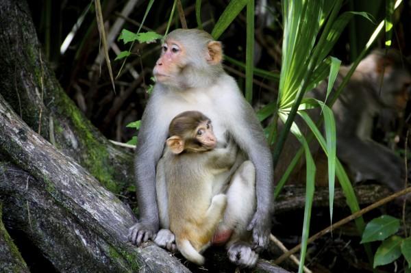 越南傳出有5名男子虐殺猴子、吃猴腦,還在臉書直播所有過程,遭網友撻伐。圖僅為示意。(美聯社)