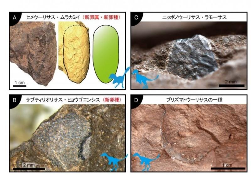 日本發現世上最小的非鳥恐龍蛋化石,獲得金氏世界紀錄認證。(圖擷取自兵庫縣自然與人類活動館官網)