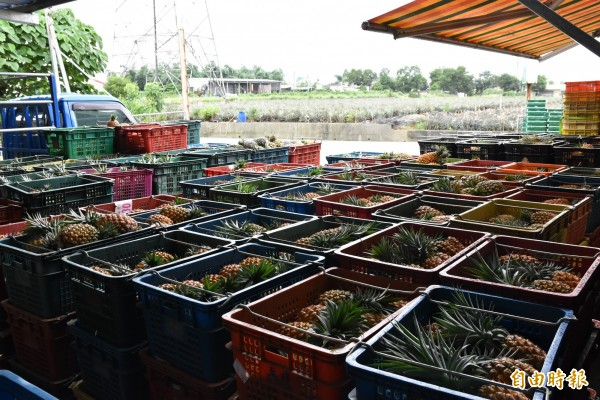 古坑集貨場內堆置配合政府收購的4萬多台斤次級品鳳梨。(記者黃淑莉攝)