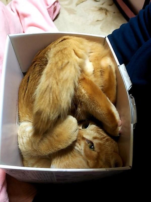 貓咪將身體完全塞進長方形的箱子裡。(圖擷自推特)