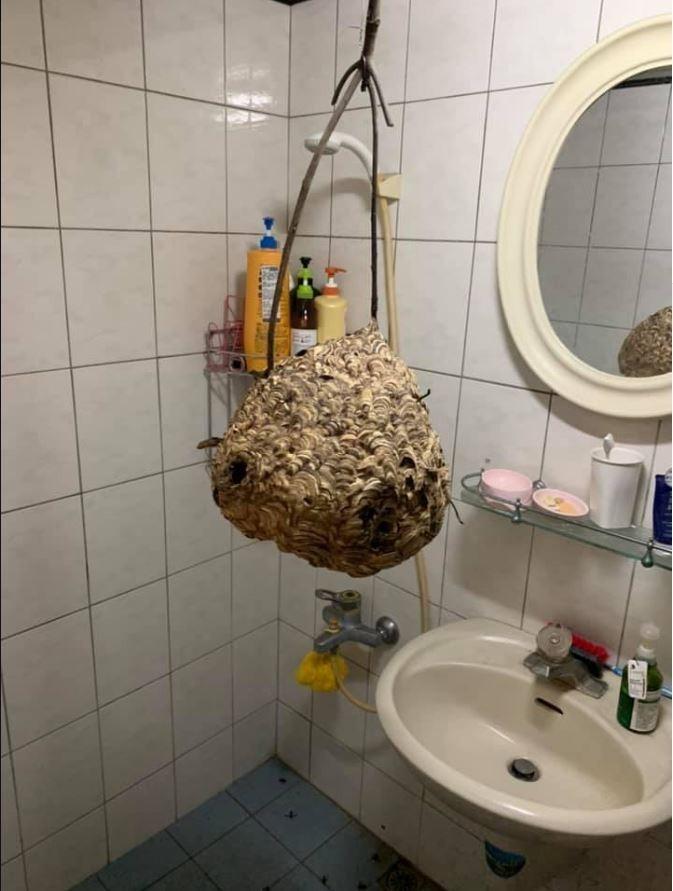 原PO貼出家中浴室內,懸掛著一顆完整的虎頭蜂蜂巢。(圖擷自爆廢公社)