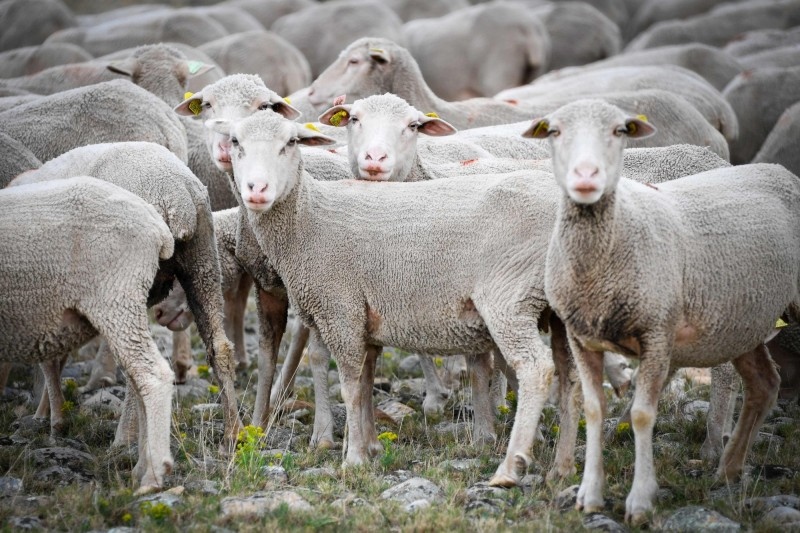 法國山區一所小學因為學生人數減少而面臨減班,週二有牧民因此浩浩蕩蕩帶了約50隻綿羊到校「報名」入學,呼籲當局重視孩子的受教權。羊群示意圖。(法新社)