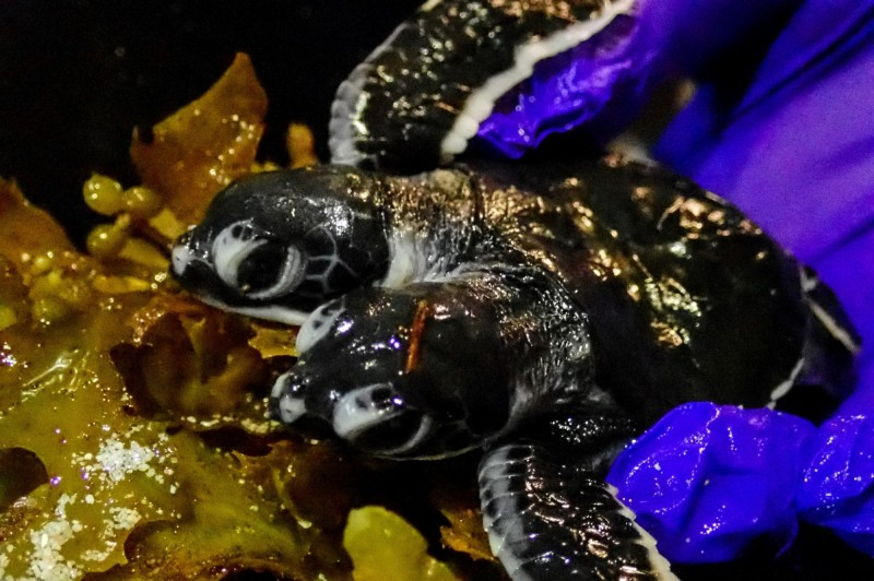 雙頭海龜寶寶已於17日晚死亡,但死因目前仍不明。(法新社)