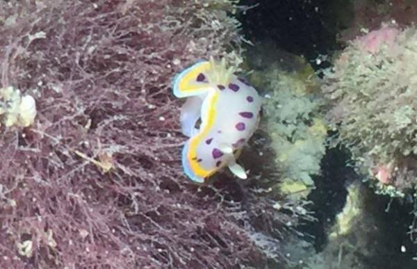 好萌!大潭藻礁生態豐富,甚至陸續在其中發現稀有物種,15日又發現「小丘多彩海蛞蝓」(見圖),是台灣本島首筆發現紀錄,大力鼓舞了生態學者與環保團體,強力呼籲爭議許久的中油第三天然氣接收站開發案,能另外找尋替代處。(搶救大潭藻礁行動聯盟提供)