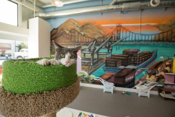 美國加州首創立「貓咪咖啡廳」,動物救援團體希望藉此能替流浪貓尋找新家。(圖擷取自cattownoakland.org)