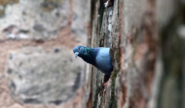 印度警方正對「間諜鴿」進行詳細檢查。(此為示意圖,法新社)