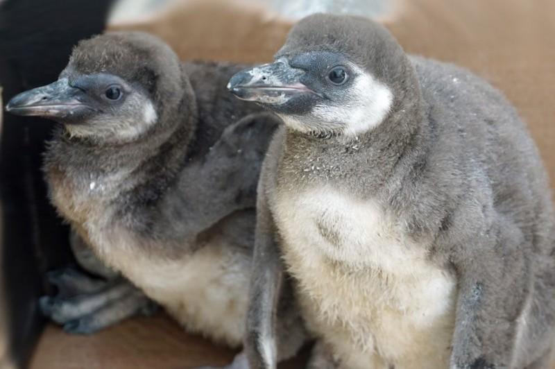 德國薩克森自由邦的某間動物園上月傳出園內有對企鵝夫妻孵蛋失敗,竟意外失控暴走,不僅開始攻擊其他企鵝,甚至還殺死剛孵化成功的企鵝寶寶。(圖擷自臉書)