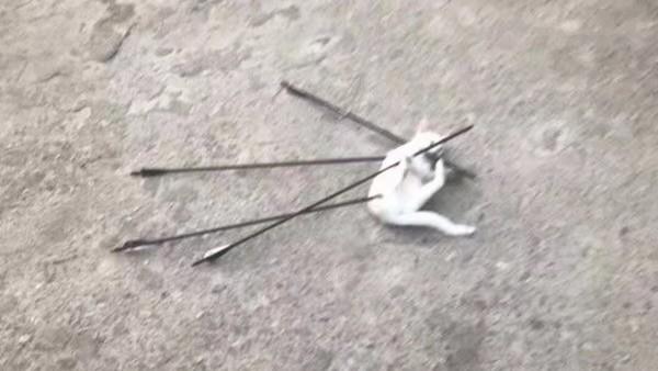 中國湖北一隻流浪貓慘遭被人用弓箭射殺,全身一共插了4支箭。(圖翻攝自微博)